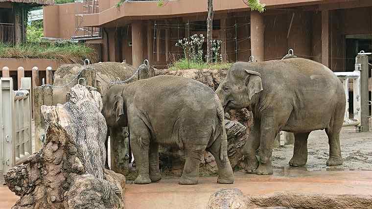 ゾウの泥遊び