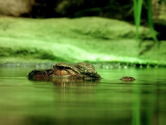 水の中にひそむワニ