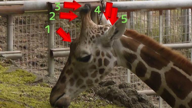 キリンの角は5本