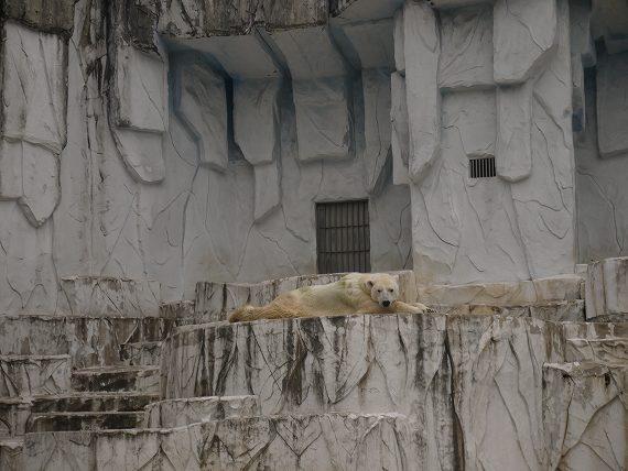 シロクマが寝そべっている
