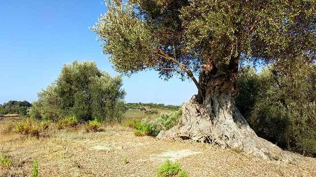 クレタ島にあるオリーブ最古の木